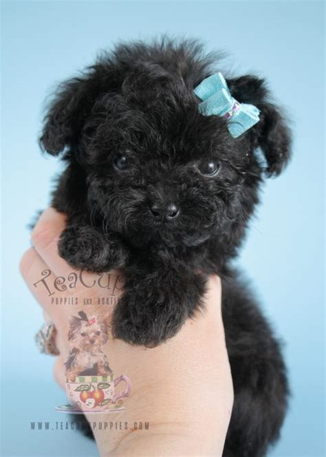 poodle puppies for sale in sc teacup poodle puppies greenville sc photo