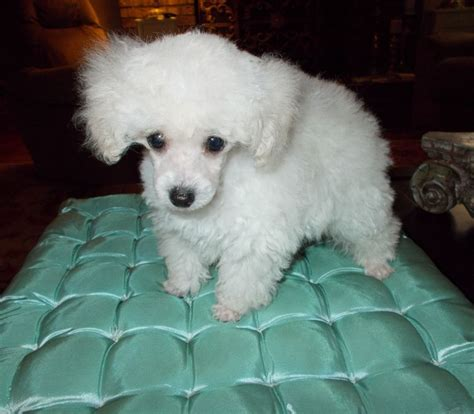 how much is a golden retriever puppy worth how much is a poodle worth photo