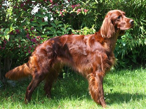 irish setter working dog irish setter wallpapers hd download