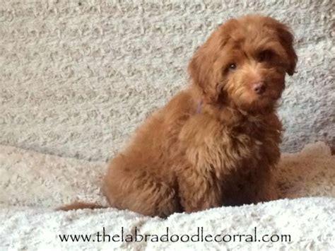 puppy corral labradoodle corral s virginia the labradoodle corral wisconsin
