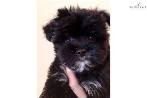 black morkie puppies yorktese morkie malkie terrier maltese hybrid