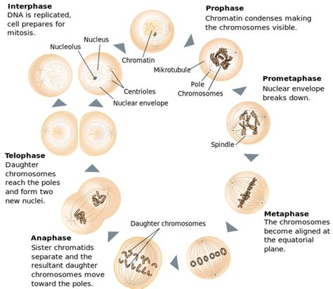 mitosis cycle diagram what part of the cell is actually dividing in mitosis quora
