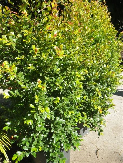 common backyard plants syzygium backyard bliss landsdale plants