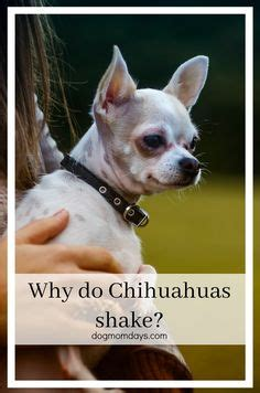 why does my shiver chihuahua clip royalty free stock image image you had me at