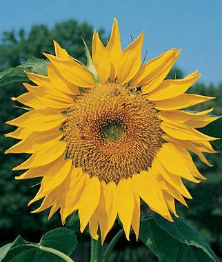 fiori in russia mammoth russian sunflower seeds and plants annual flower