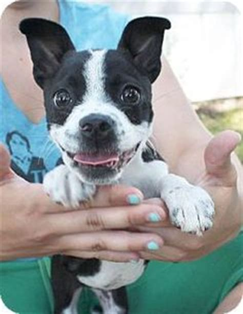 boston terrier chihuahua mix puppies for sale terrier mix boston terriers and chihuahuas on
