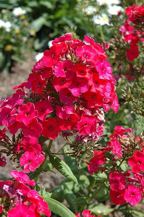 red flame garden phlox phlox paniculata red flame
