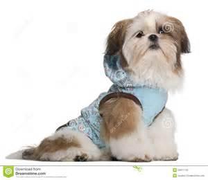 shih tzu 5 months shih tzu puppy 5 months stock photos image 20377743