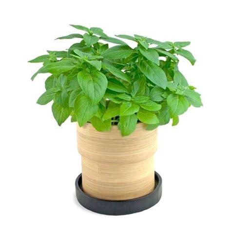 basilico coltivazione in vaso coltivare basilico aromatiche consigli per la
