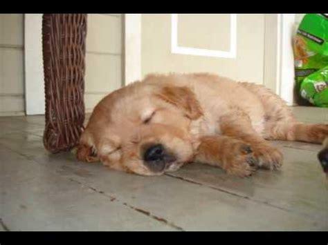 5 week golden retriever puppies for sale golden retriever puppies for sale 5 weeks time