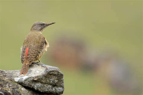 ground woodpecker bird wildlife photography by richard