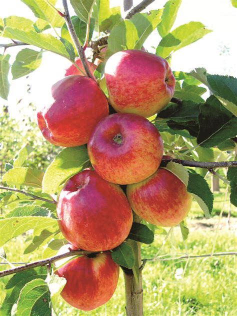 fruit tree supplies apple initial baujade