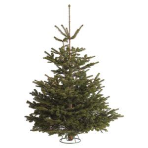 real christmas trees live xmas trees the range