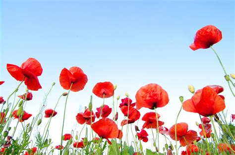 red poppy day top quality wallpapers hd photos and images page 4 of 4