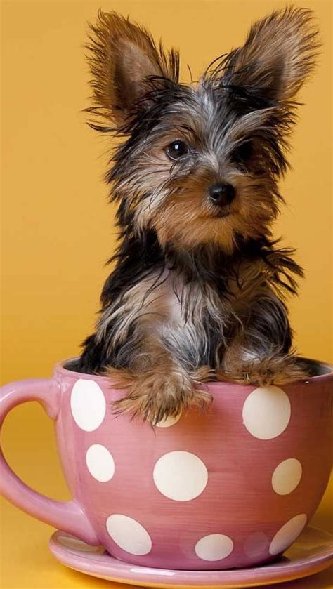 yorkie cup 10 best images about teacup puppy on chihuahuas teacup chihuahua puppies