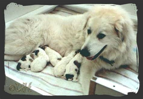 great pyrenees colors great pyrenees connection great pyrenees colors