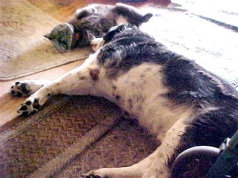 hemangioma in dogs hemangioma pictures in dogs wroc awski informator internetowy wroc aw wroclaw