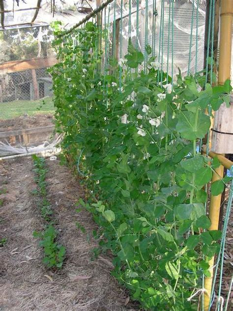 do sugar snap peas need a trellis now is the time to sow your peas the observer