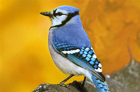 attracting blue jays colorful backyard songbirds birds