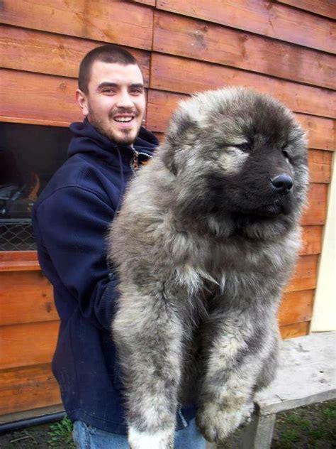 reddit puppy 101 caucasian shepherd puppy aww