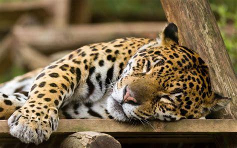 imagenes fondo de pantalla leopardo buscar fondos de pantalla gratis para celular en pantalla