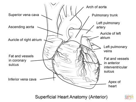 coloring pages of the heart s anatomy human heart coloring page free printable coloring pages