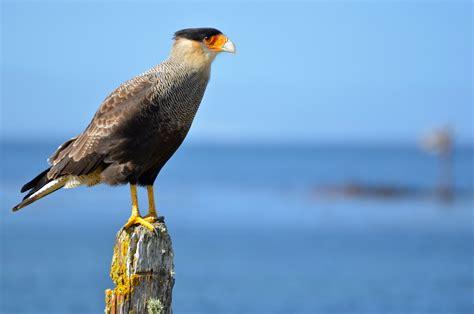 Crested Caracara Mexico National Bird Full Desktop Backgrounds