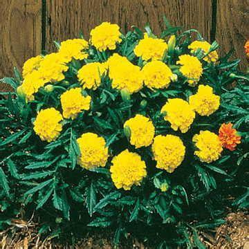 Yellow Marigold janie yellow marigold seeds