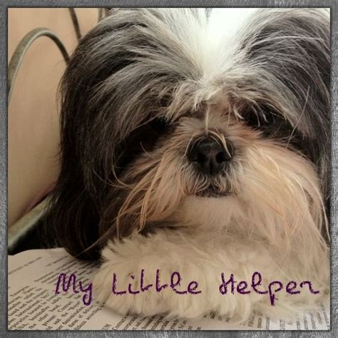 the cutest shih tzu in the world the world s catalog of ideas