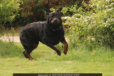 rottweiler grown what is a miniature rottweiler breeds picture