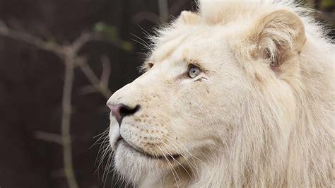 imagenes de leones image gallery imagenes de leon blanco