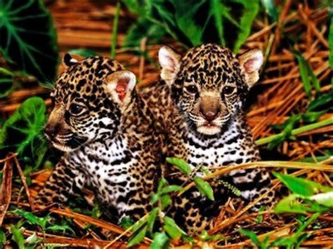 rainforest jaguar facts top 10 facts about jaguars rainforest cruises