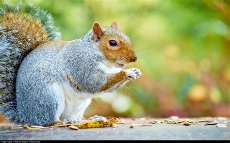 how to get rid of squirrels in house squirrels how to get rid of squirrels in the garden the lobster house