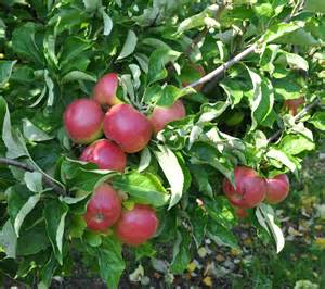 apple tree varieties wagener apple