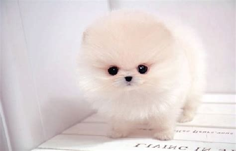 teacup pomeranian orlando teacup puppies for sale orlando