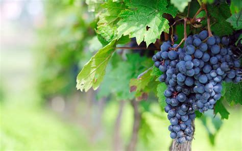 immagini free grapes fruit wallpaper hd desktop images one hd