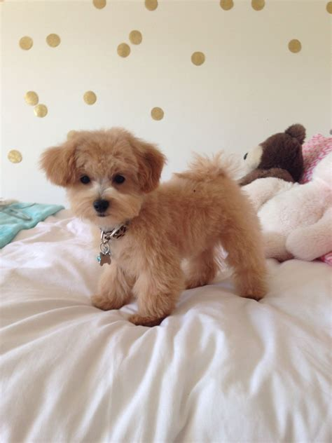 brown maltipoo puppies maltese haircut on maltese dogs maltese newhairstylesformen2014