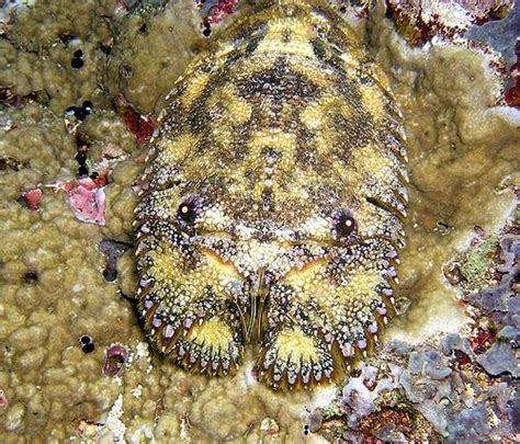 sculptured slipper lobster mister slipper lobster featured creature