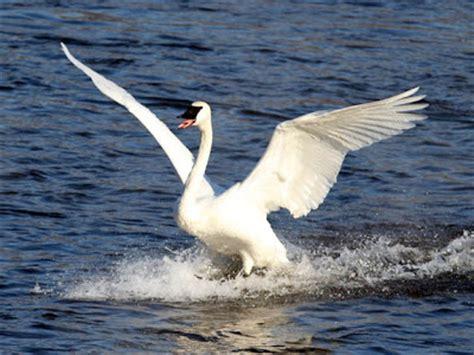 Swan Aq ecobirder swans