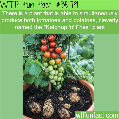 tomatoes and potatoes plant named ketchup n fries wtf fun facts horror bizarre and