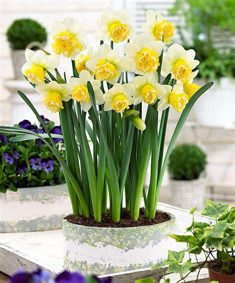 narcisi fiori acquista narcisi a fiore doppio wave bakker
