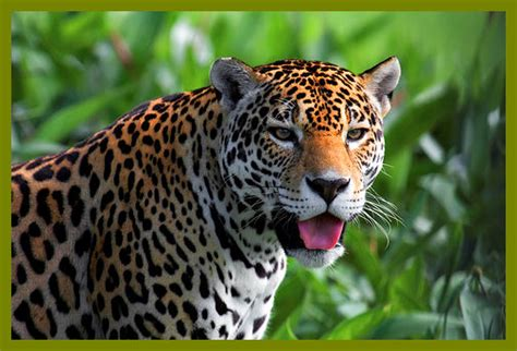what state are the jaguars from jaguars are endangered in the united states