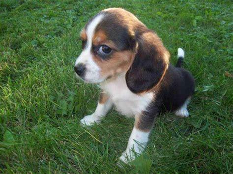 beagle puppies for adoption beagle puppies for adoption 21 my beagle