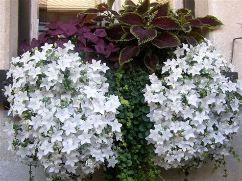 plants flowers italian bellflower