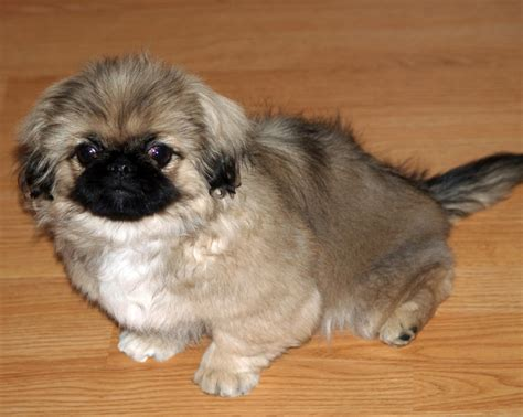 pictures of pekingese puppies pekingese puppies rescue pictures information