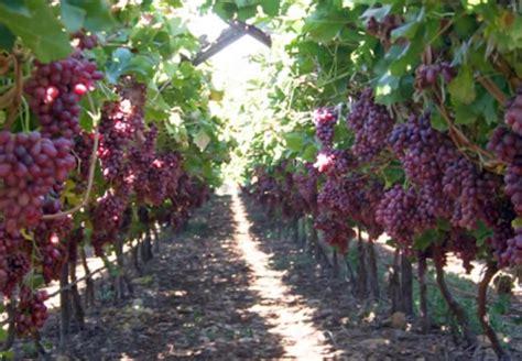cara menanam budidaya anggur pertanian