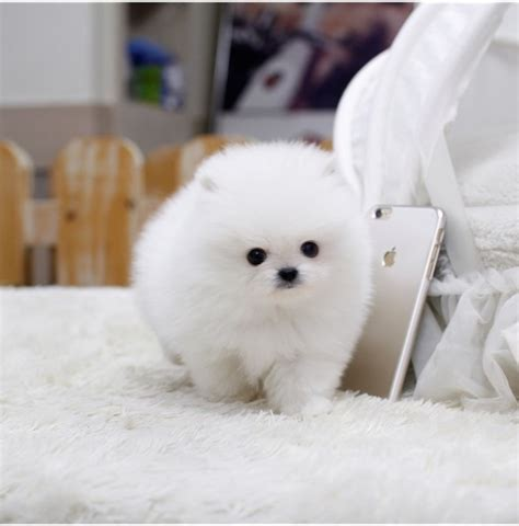 adopt a teacup pomeranian cutest teacup pomeranian puppies for adoption for sale nsw sydney