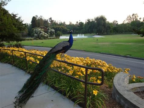 Los Angeles County Arboretum Botanic Garden Peacock At The La County Arboretum Picture Of Los Angeles County Arboretum Botanic Garden