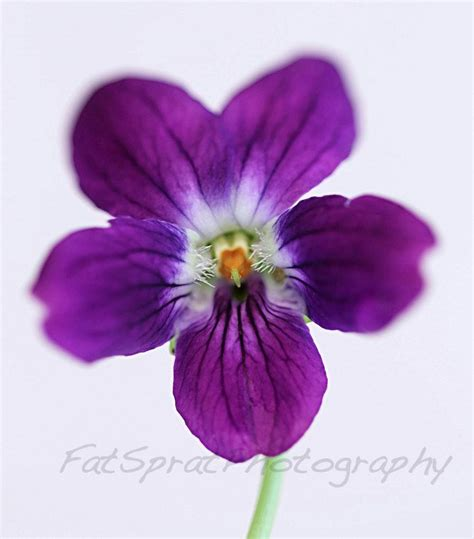 violet tattoo violet flower february birth flower