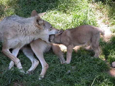 1325307793 loups et louveteaux du canada louveteaux archives les loups du g 233 vaudan